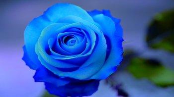 Takeさん、青いバラ.jpg